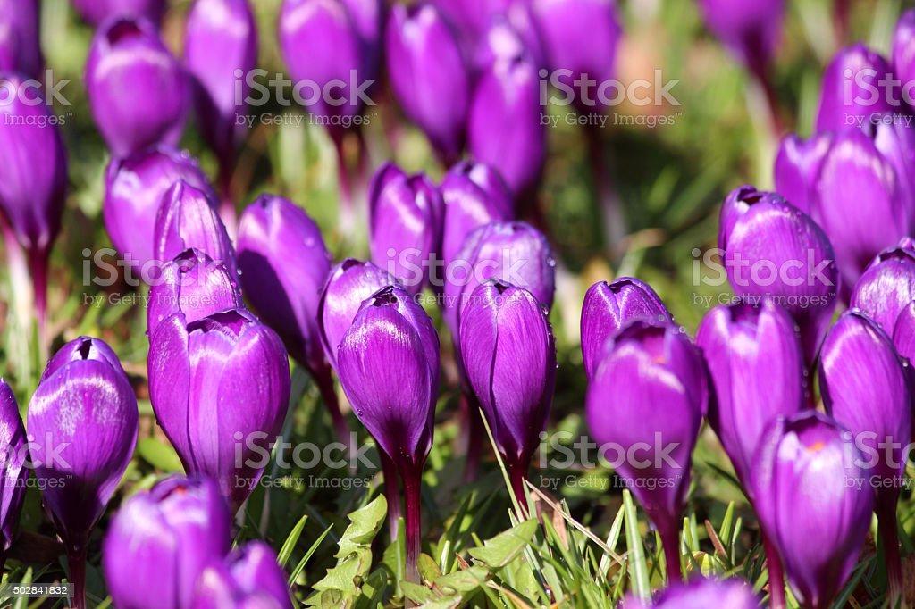 Image of close-up purple crocus buds on springtime garden lawn stock photo