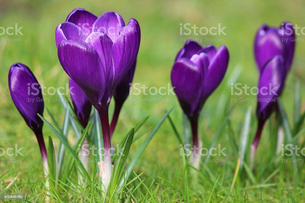 Image of clump of deep purple crocuses flowering in lawn stock photo