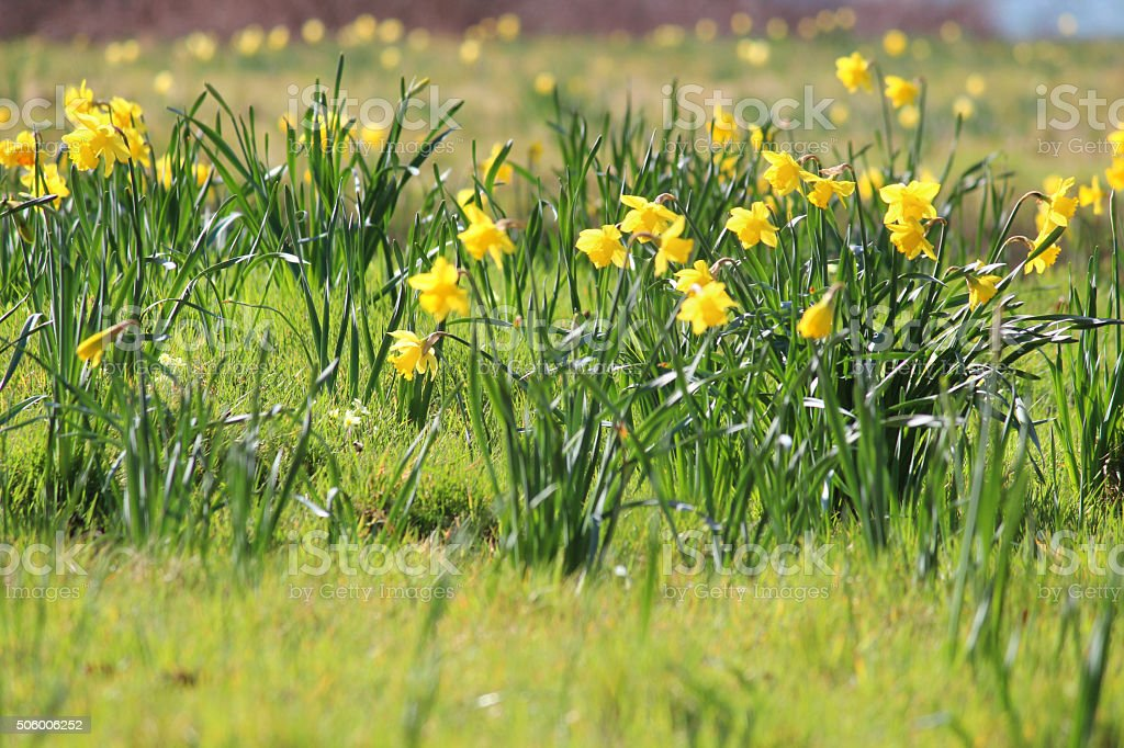 Image of clumps of daffodils (narcissus) in a meadow by a lake stock photo