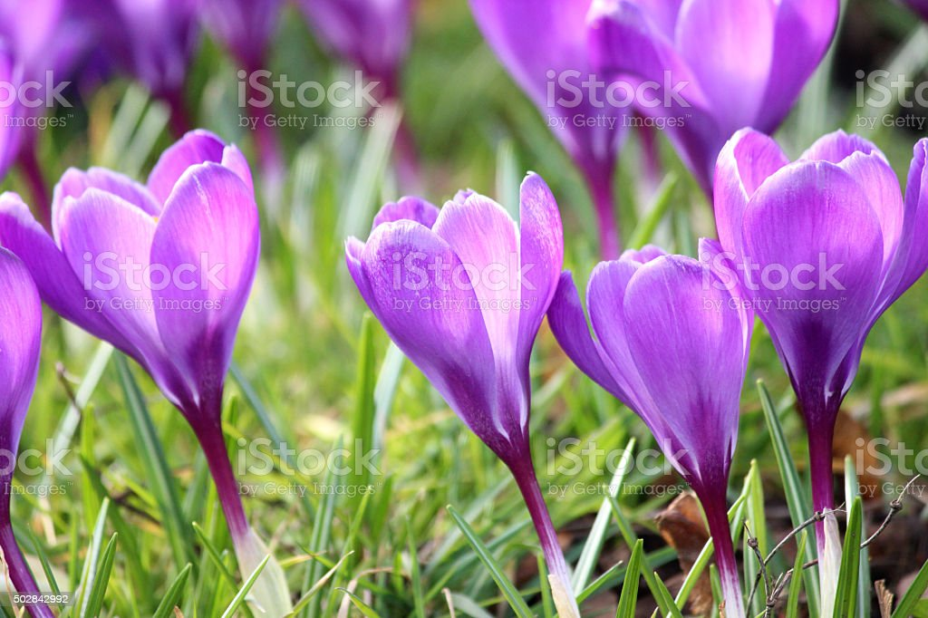 Image of cluster of purple crocuses blooming in early spring stock photo