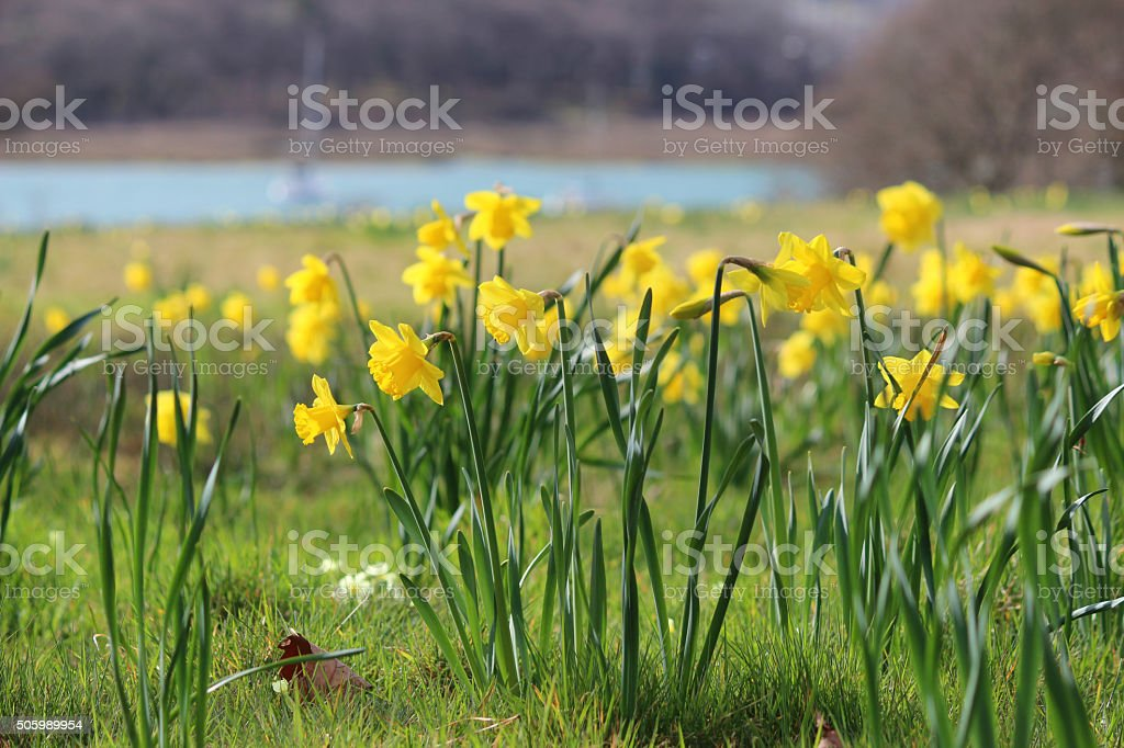 Image of clusters of yellow-daffodils in spring meadow by river stock photo