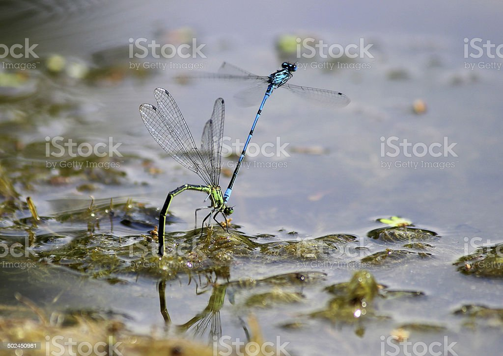 Image of common damselflies mating, laying eggs in garden pond royalty-free stock photo