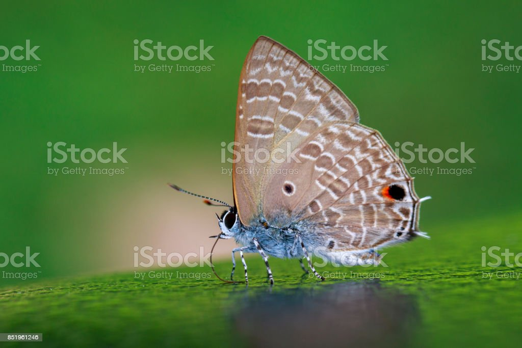 Image of common red flash butterfly (Rapala iarbus iarbus Fabricius, 1787) on nature background. Insect. Animal stock photo