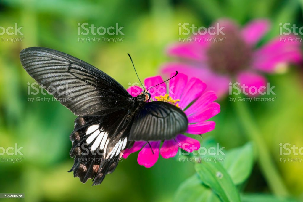 Image of Common Rose Butterfly on nature background. Insect Animal (Pachliopta aristolochiae goniopeltis Rothschild, 1908) stock photo