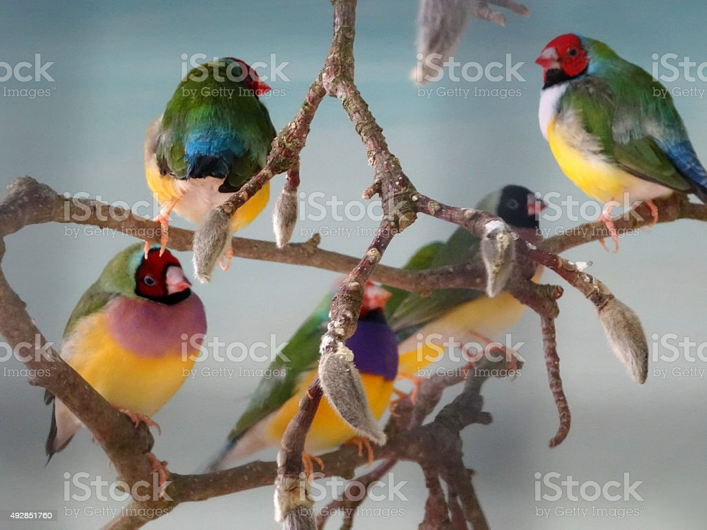 Image of community aviary, group of Gouldian finches perched together stock photo