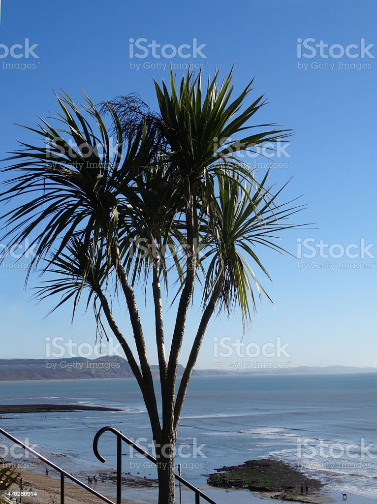 Image of cordyline australis plants / cabbage palm trees at seaside stock photo