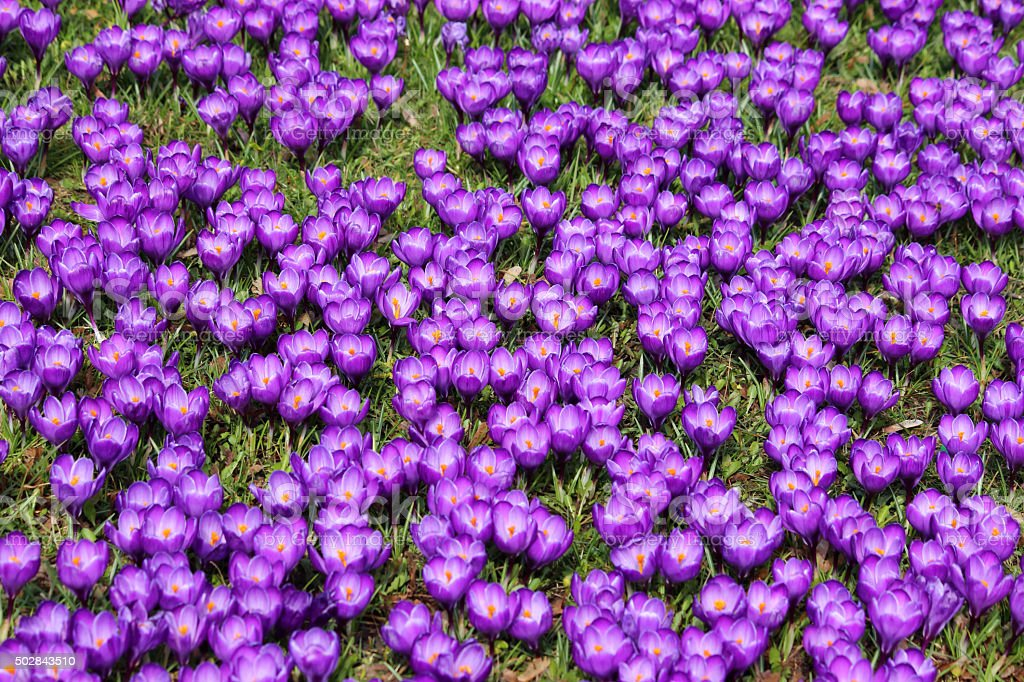 Image of covering of purple crocuses on spring garden lawn stock photo