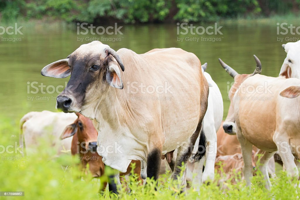Image of cow on nature background. stock photo