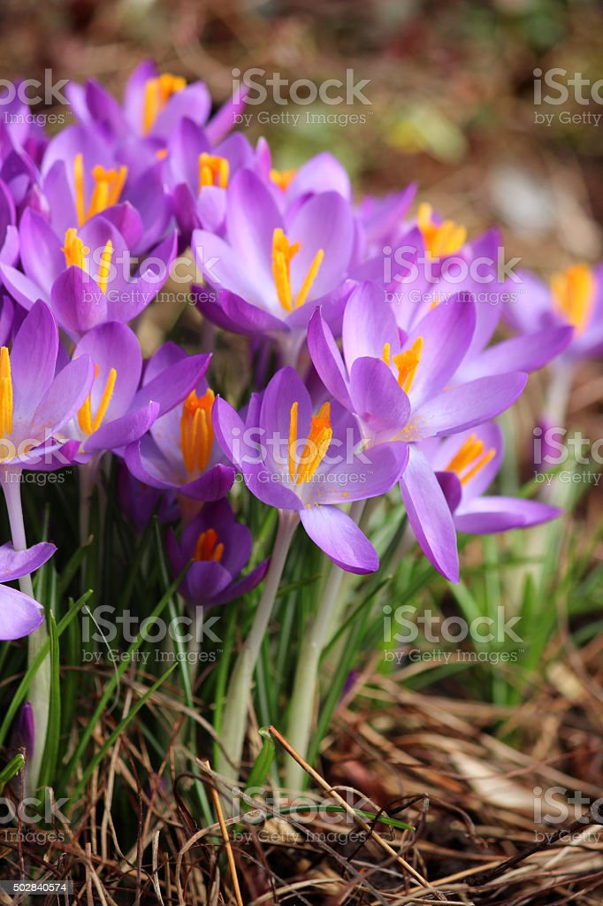 Image of crocus cluster growing on lawn with purple petals stock photo