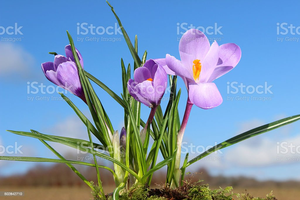 Image of crocuses blooming in countryside - blue sky background/clouds stock photo
