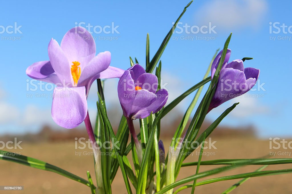 Image of crocus-flowers with countryside background - springtime blue sky stock photo