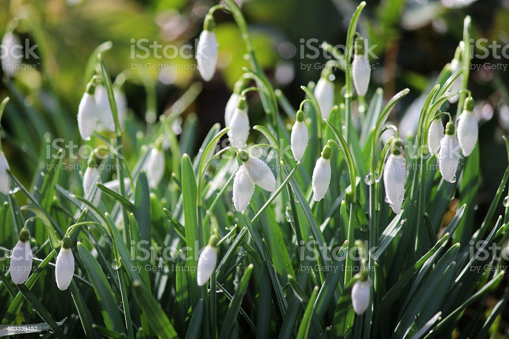 Image of drooping closed flowers of white snowdrops (galanthus nivalis) stock photo