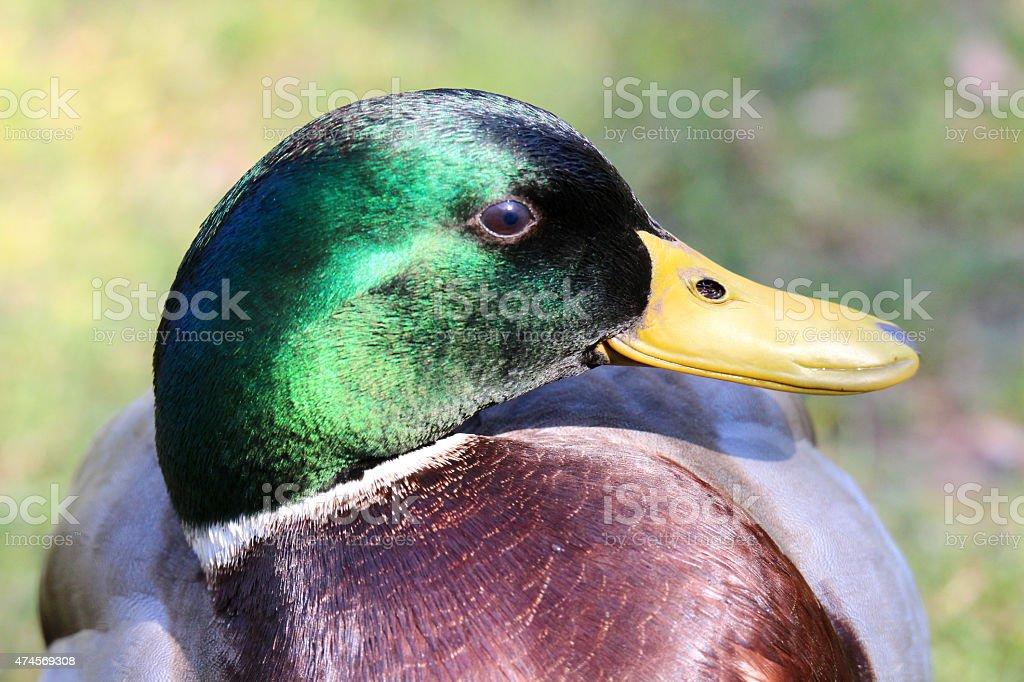 Image of emerald green head on wild male mallard duck stock photo