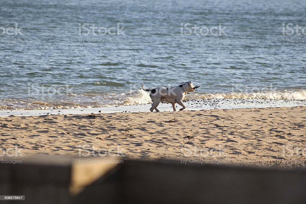 Image of English Bull Terrier playing in sea / seaside beach royalty-free stock photo
