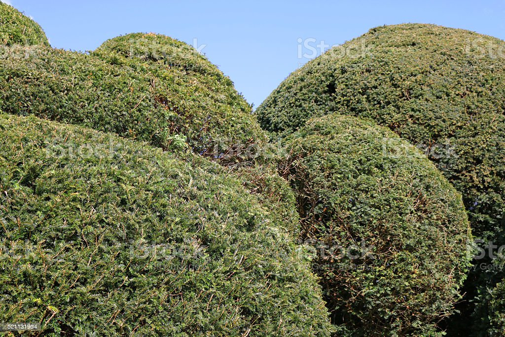 Image of English yew hedge clipped into topiary shapes, blue-sky stock photo