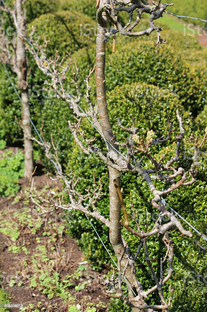 Image of espalier apple tree trained as fruit orchard fence stock photo