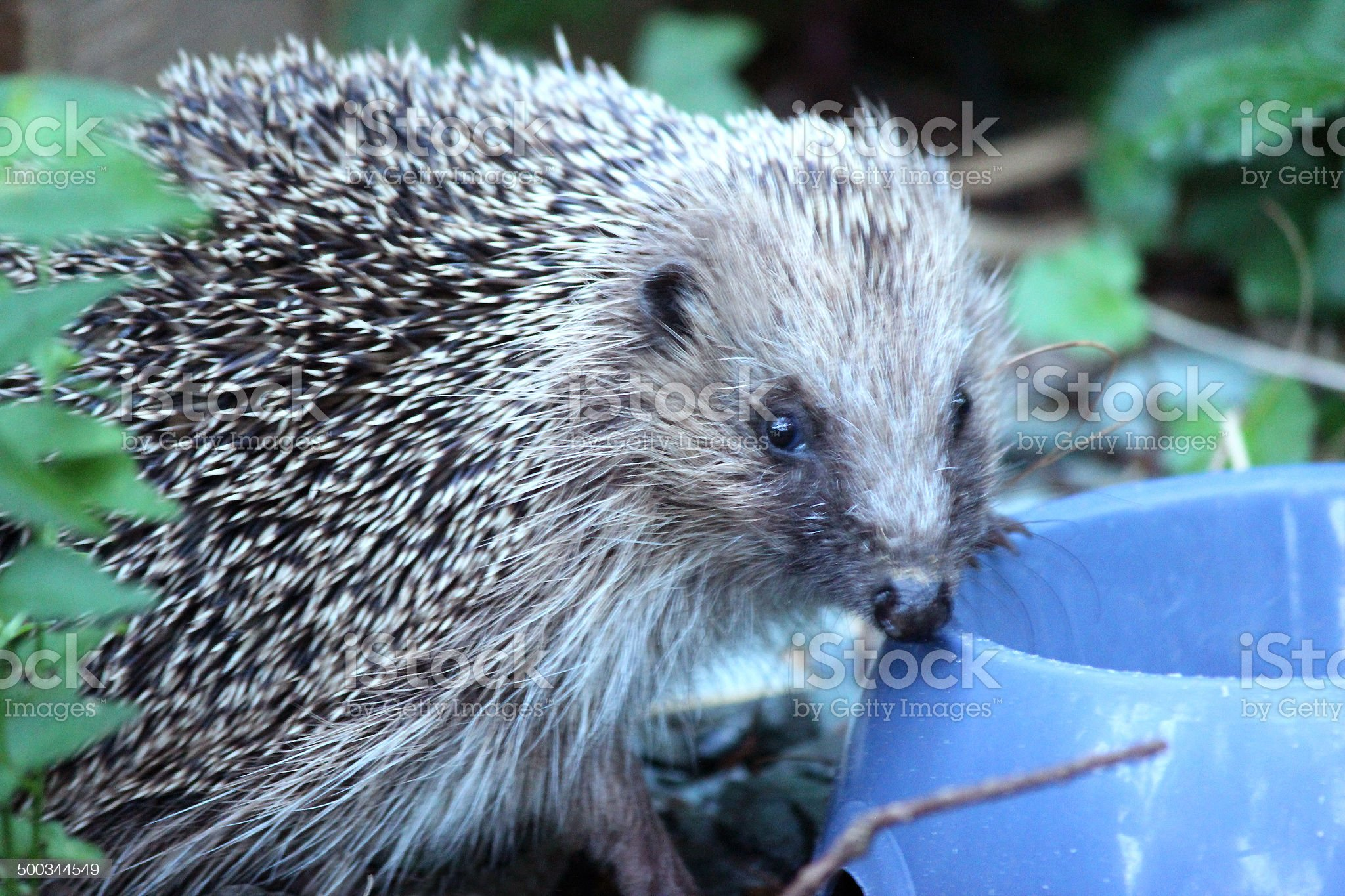 Image of European hedgehog in back garden, eating hedgehog food royalty-free stock photo