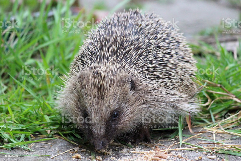 Image of European hedgehog in back garden, eating hedgehog food stock photo