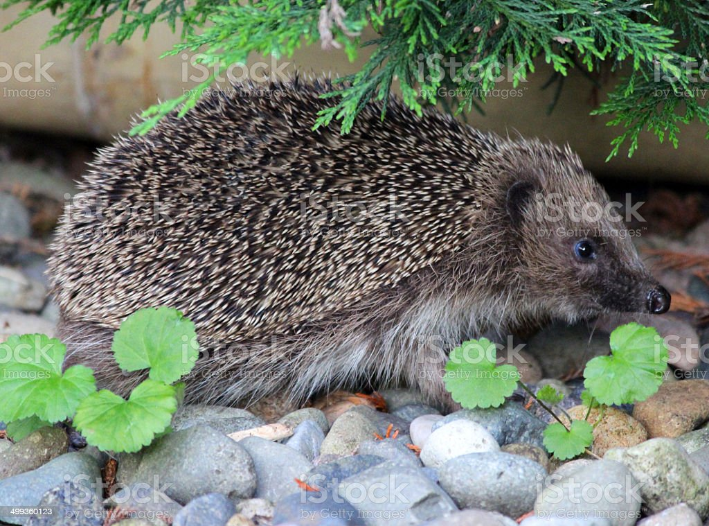 Image of European hedgehog in back garden, looking for food stock photo