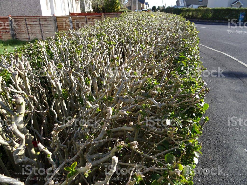 Image of European privet hedge / hedging trimmed, pruned (Ligustrum vulgare) stock photo