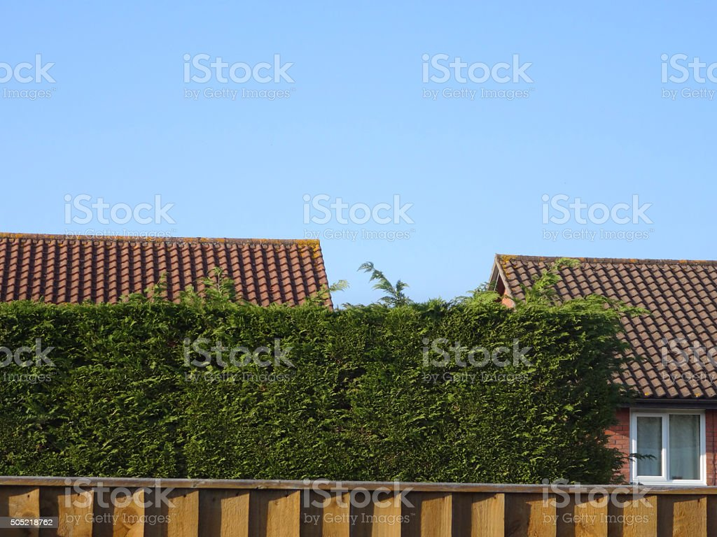 Image of evergreen Leyland-cypress hedge (Leylandii), fence and house rooftop stock photo
