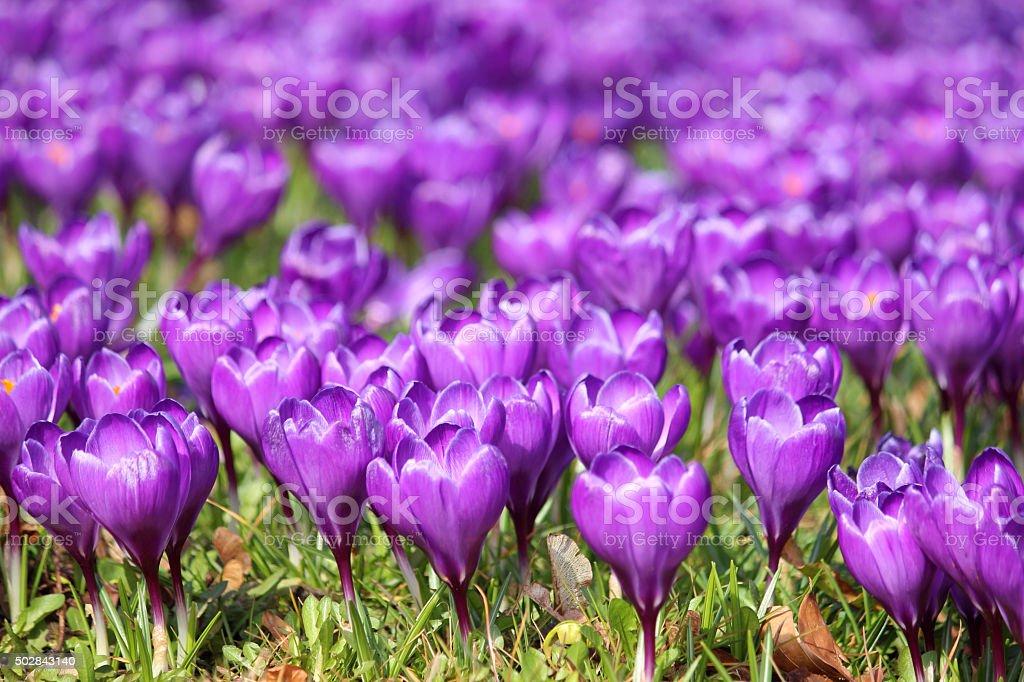 Image of field of flowering purple crocus blooms - spring sunshine stock photo