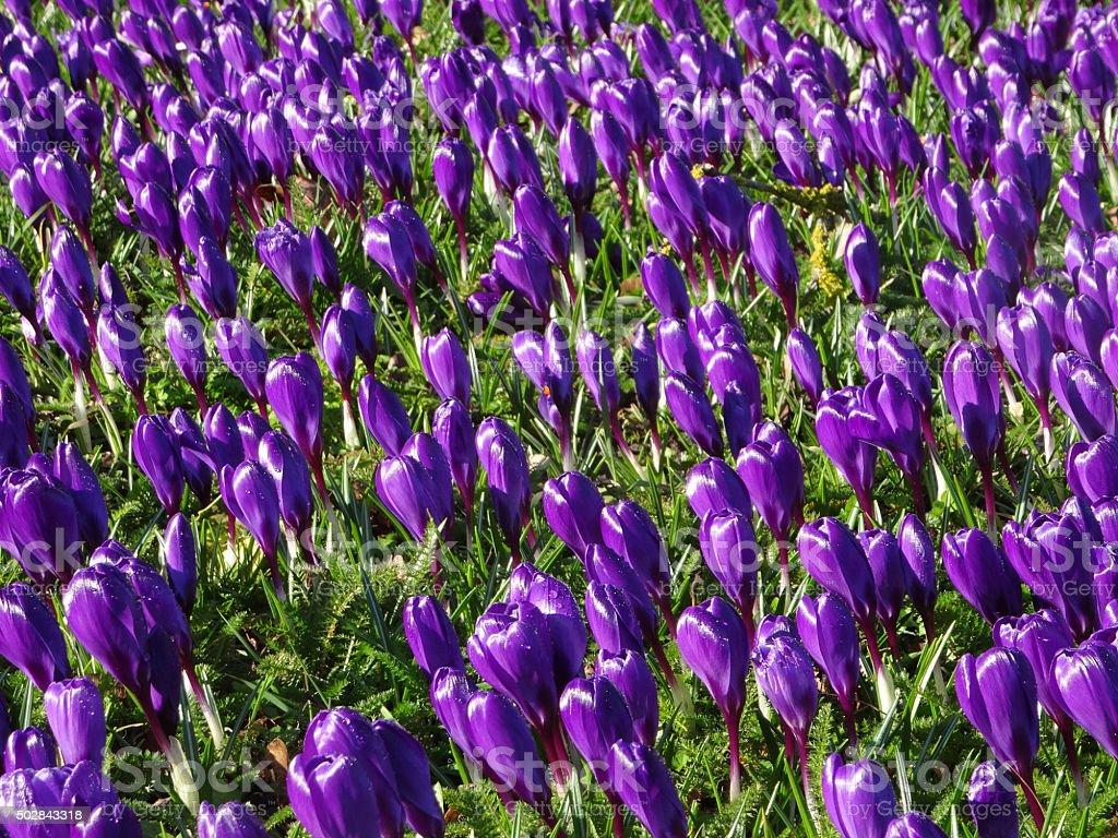 Image of field of purple flowering crocuses bathed in sunlight stock photo