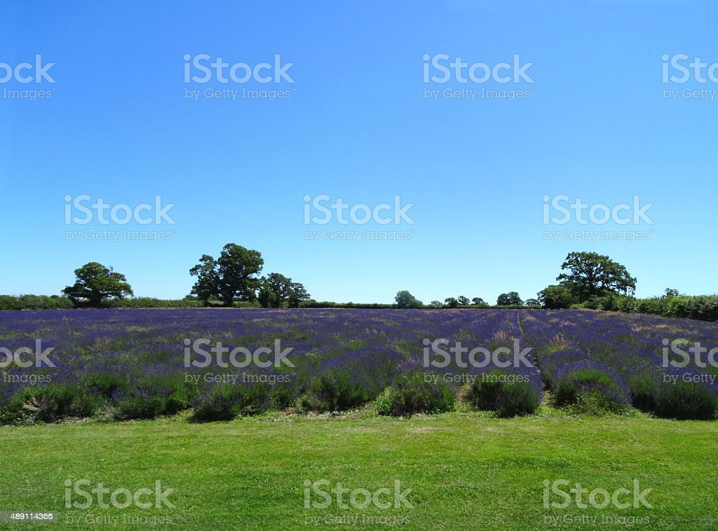 Image of field of purple lavender flowers planted in rows stock photo