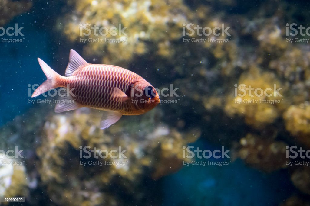 Image of fish in the water. (Asian glassfish) stock photo