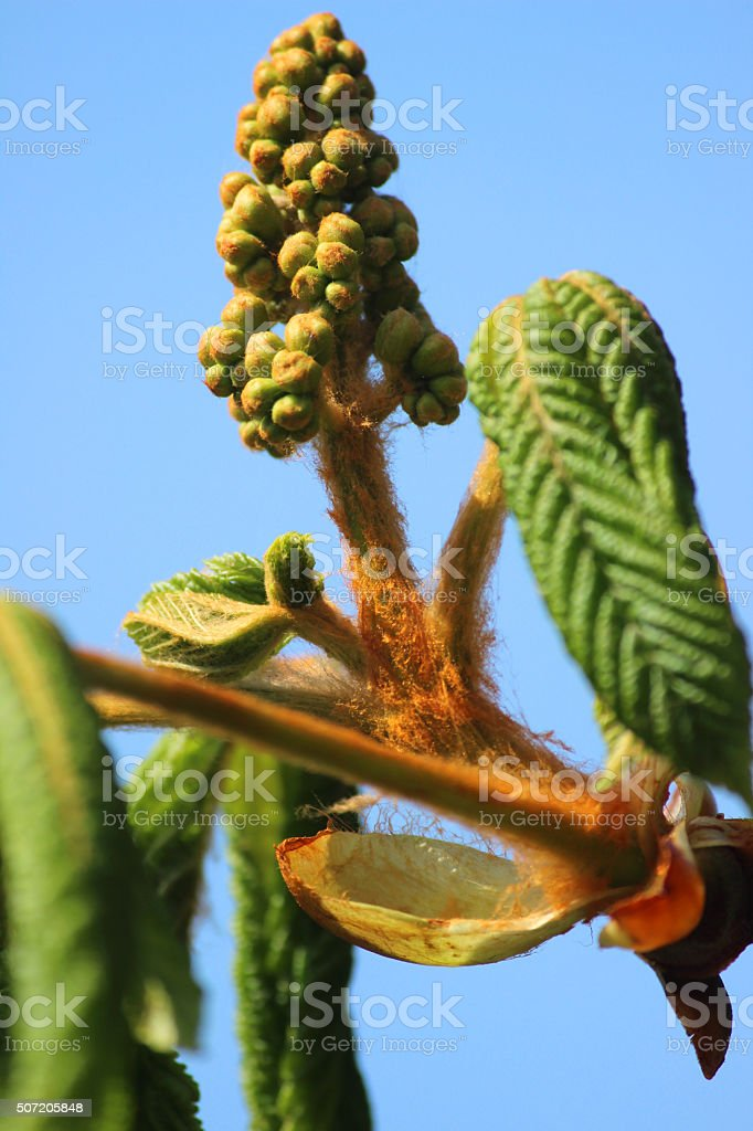 Image of flower buds on horse chestnut tree (aesculus hippocastanum) stock photo