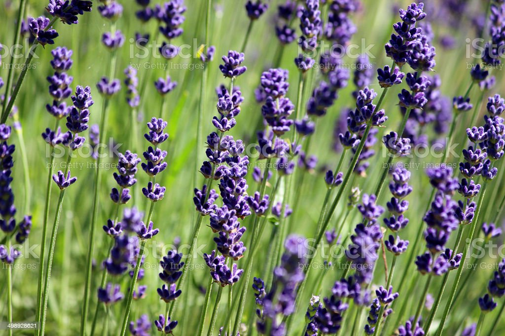Fascinating Image Of Flowering Lavender Plant Purple Lavender Flowers Garden  With Glamorous Image Of Flowering Lavender Plant Purple Lavender Flowers Lavandula  Garden Royalty With Attractive Homebase Garden Turf Also Steep Gardens In Addition Glasgow Winter Gardens And Rustic Garden Gate As Well As Garden House Uniform Additionally Hollybush Gardens From Istockphotocom With   Attractive Image Of Flowering Lavender Plant Purple Lavender Flowers Garden  With Fascinating Rustic Garden Gate As Well As Garden House Uniform Additionally Hollybush Gardens And Glamorous Image Of Flowering Lavender Plant Purple Lavender Flowers Lavandula  Garden Royalty Via Istockphotocom