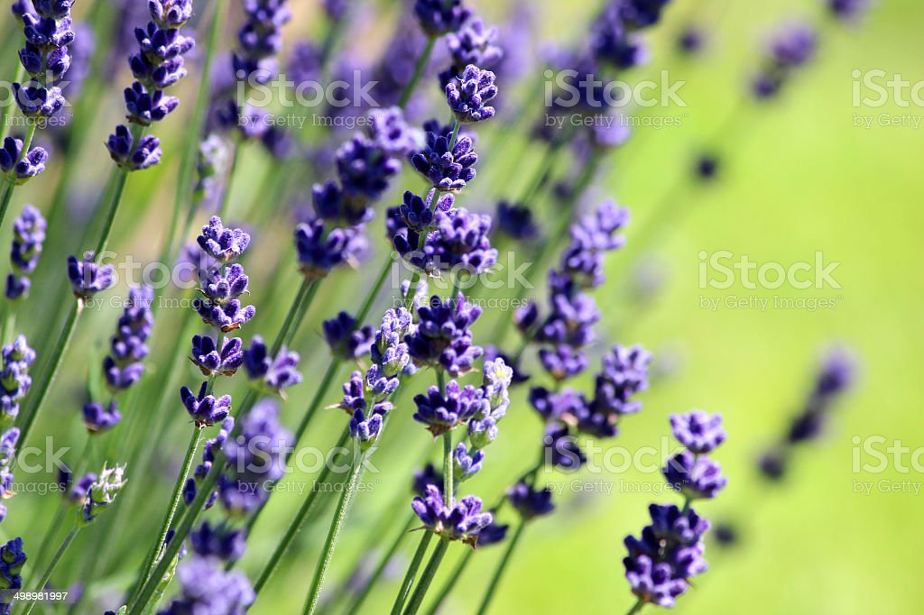 Image of flowering lavender plant, purple lavender flowers (lavandula), garden stock photo