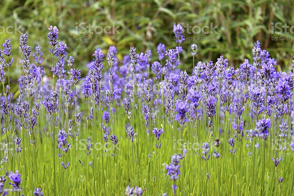 Image of flowering lavender plant, purple lavender flowers (lavandula), garden royalty-free stock photo