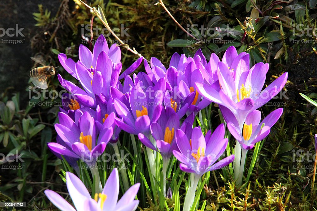 Image of flowering spring crocuses with purple petals in sunshine stock photo
