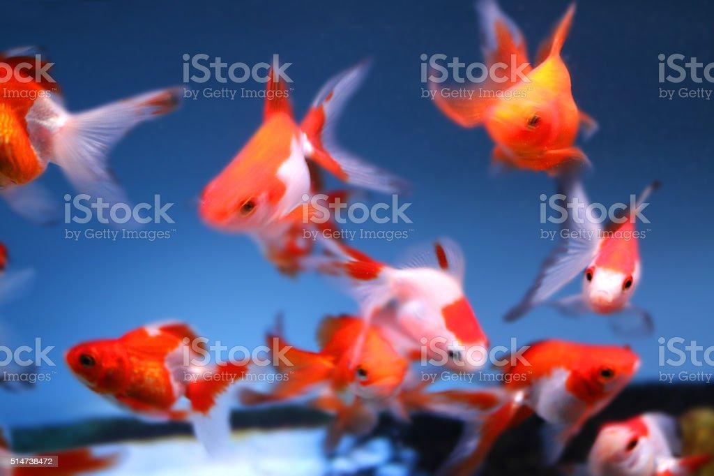Image of freshwater aquarium fish tank, school of fantail goldfish stock photo