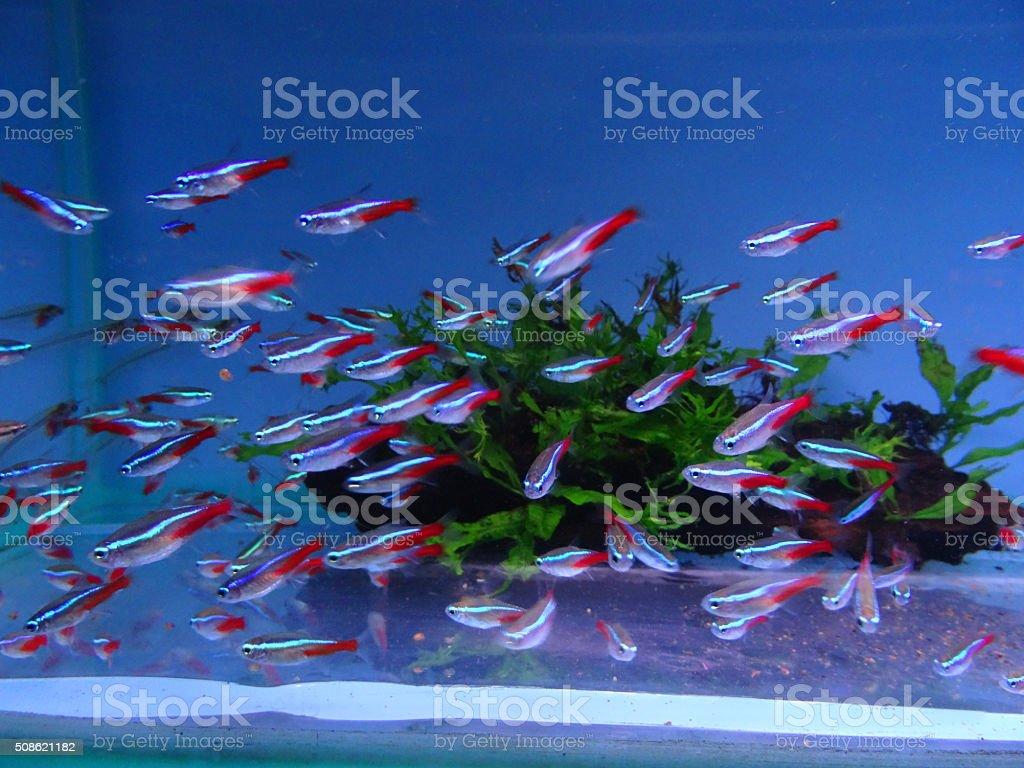 Image of freshwater, tropical aquarium/fish-tank with neon-tetras (paracheirodon innesi) stock photo