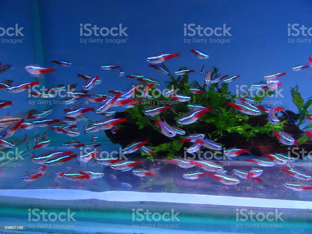 Image of freshwater, tropical aquarium/fish-tank with  Paracheirodon innesi (neon-tetras) stock photo