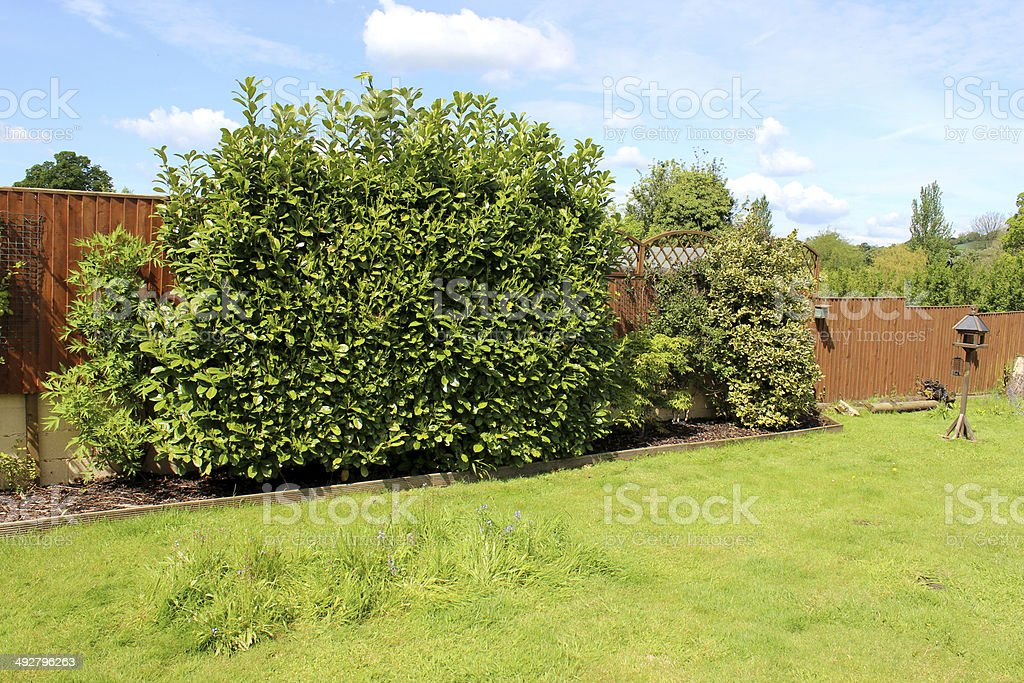 Image of garden with laurel hedges, wooden fence and lawn stock photo