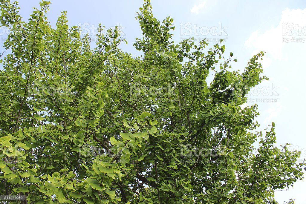 Image of ginkgo biloba tree (maidenhair fern tree) leaves, branches stock photo
