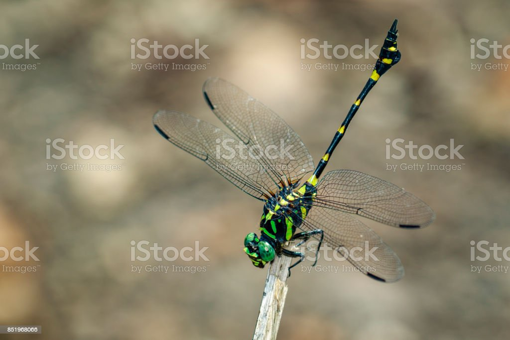 Image of gomphidae dragonfly on dry branches. Insect. Animal