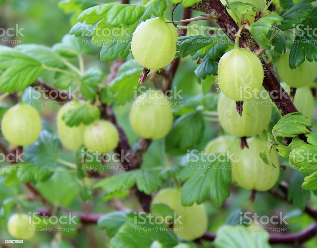 Image of gooseberry bush with a large crop of gooseberries stock photo