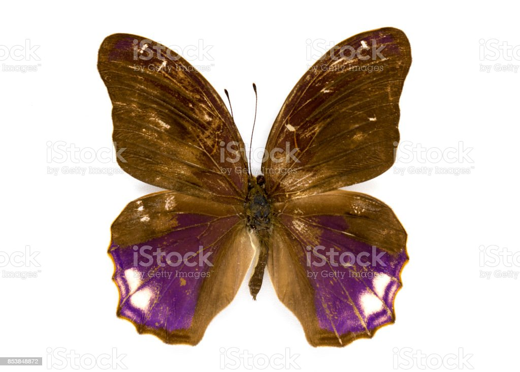Image of Great Assyrian Butterfly (Terinos clarissa) on white background. Insect. Animal stock photo