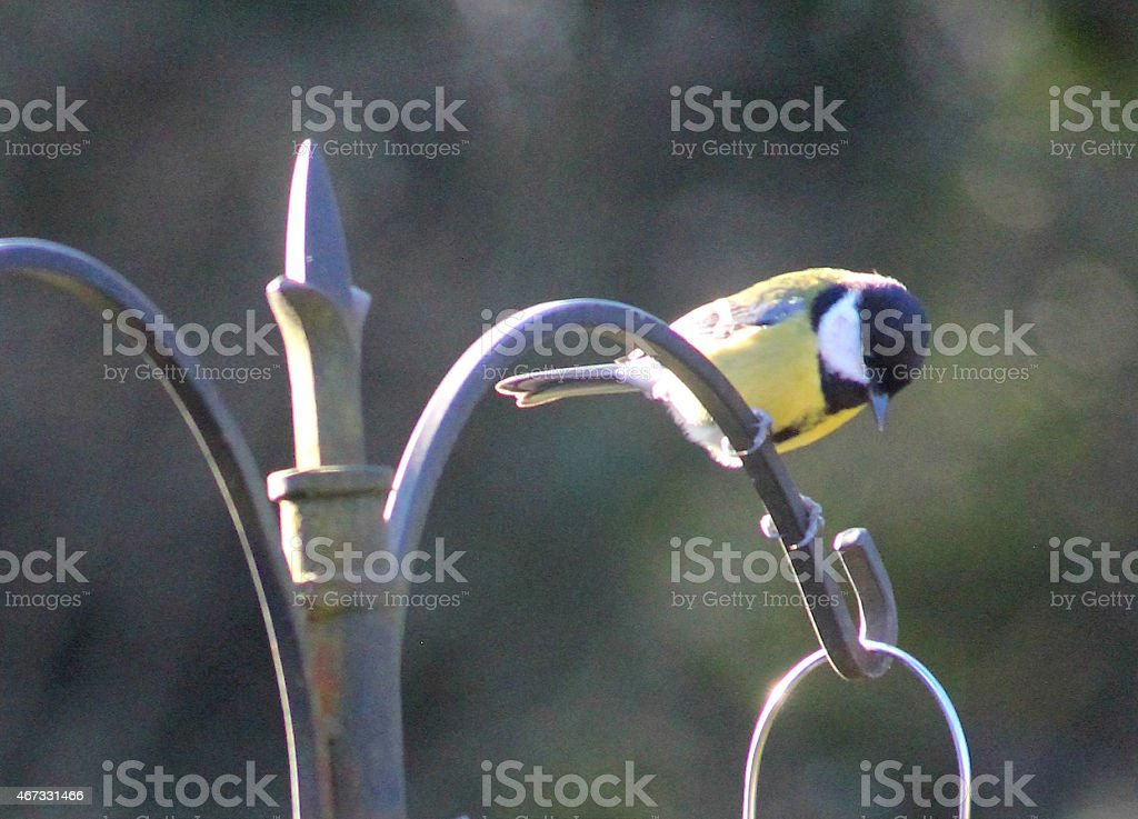 Image of great tit perched on feeding station in garden stock photo