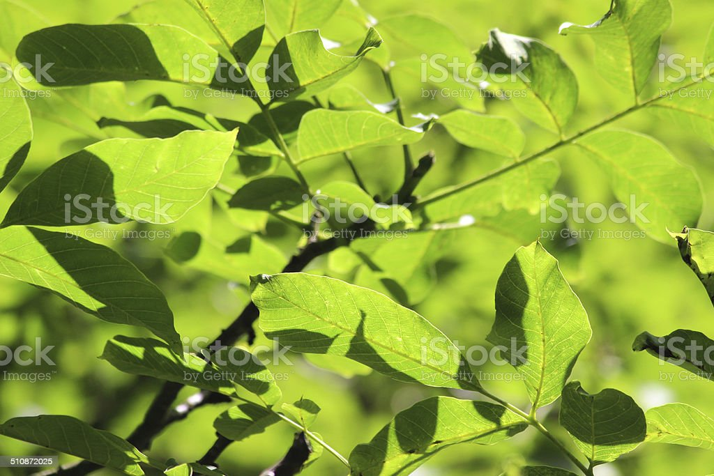 Image of green ash tree leaves in sunshine, Fraxinus Excelsior stock photo