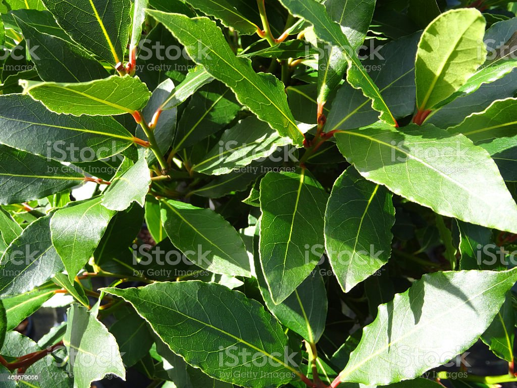 Image of green bay tree leaves / shoots (laurel / laurus nobilis) stock photo