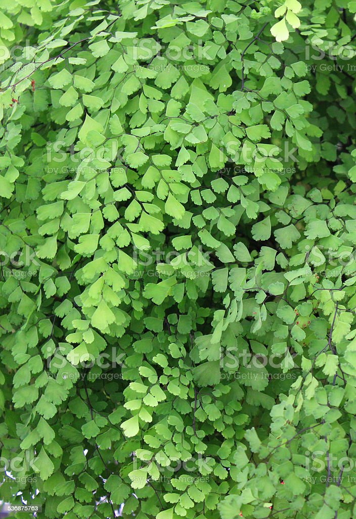 Image of green maidenhair fern leaves, Adiantum house plant / pot-plant stock photo