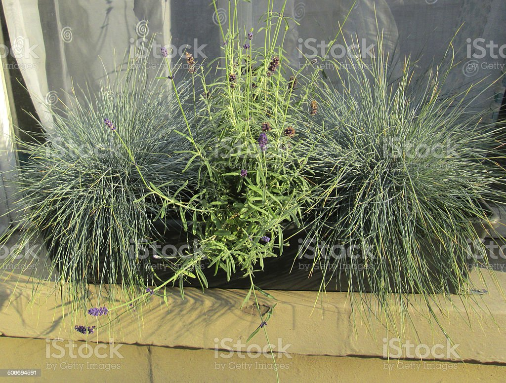 Image of green plastic windowbox, silver grasses (festuca) and lavender stock photo