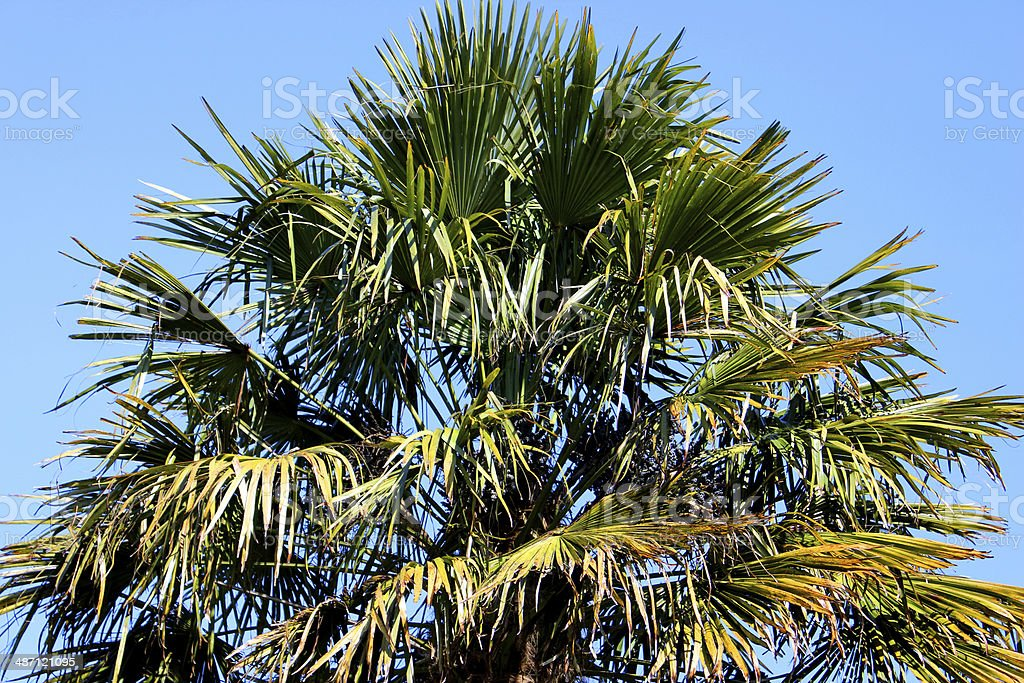 Image of green tropical windmill palm tree leaves, blue sky stock photo