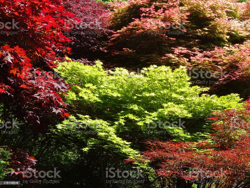 Image of green, yellow, pink, red Japanese-maple leaves (acer-palmatum varieties) stock photo