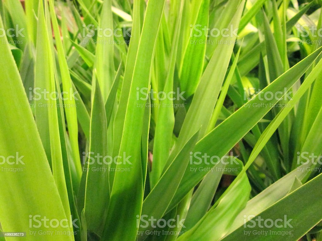 Image of green yucca leaves, close-up of yucca elephantipes houseplant stock photo